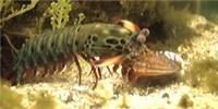 image: Kung Fu Shrimp