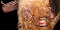 image: Image of the Day: Horseshoe Bat