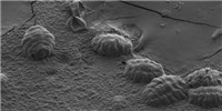 image: New Insights into Tardigrades' Ability to Withstand Drying Out
