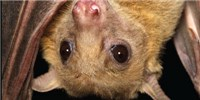 image: What Bat Quarrels Tell Us About Vocal Learning