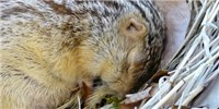 image: Hibernating Rodents Feel Less Cold