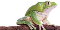 image: Frog Skin Yields Potent Painkillers, but None Clinic Ready