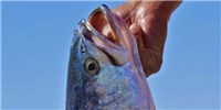 image: Sound of the Day: Big Mouth Gulf Corvina