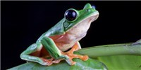 image: Image of the Day: Frog Leaps Away from Extinction