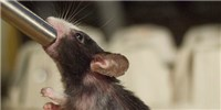 image: Alcohol Damages Mouse DNA