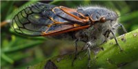 image: Image of the Day: Minions of the Cicada