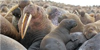 image: Like Humans, Walruses and Bats Cuddle Infants on Their Left Sides
