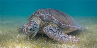 Rising Temperatures and the Elimination of Male Turtles