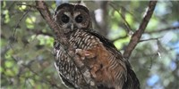 image: California's Owls Being Exposed to Rat Poison