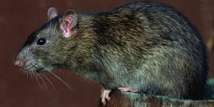 Human Fleas and Lice Spread Black Death