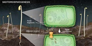 Infographic: Skotomorphogenesis Versus Photomorphogenesis