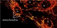 image: Image of the Day: Red-Hot Mitochondria