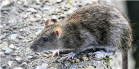 image: CDC Identifies Seoul Virus Outbreak Among Pet Rat Owners