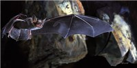 image: Study: Telomeres Don't Shorten with Age in Longest-Lived Bats