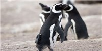 image: Image of the Day: Camera-Toting Penguin