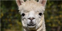image: Researchers Produce Alpaca Antibodies Using Yeast
