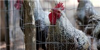 image: First Human Case of H7N4 Bird Flu Confirmed