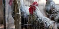 image: First Human Case of H7N4 Bird Flu Confirmed