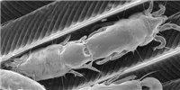 image: Image of the Day: Feather Mites