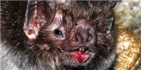 image: Genomic Particularities Hint at Vampire Bat's Ability to Live Off Blood