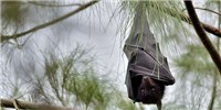 image: Bats May Have Taken on Viruses To Stay in Flight
