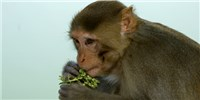 image: Stem Cell Implants Improve Monkeys' Grip After Spinal Cord Injury