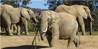 image: Extinct and Living Elephants' Genomic History Sequenced
