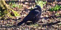 image: Number-Selective Neurons Found in Untrained Crows' Brains