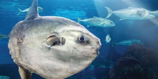 """Ocean Sunfish Could Offer Clues to the """"Rise of Slime"""""""