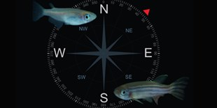 Zebrafish and Medaka Can Sense Magnetic Fields