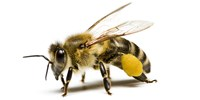 image: Bees' Molecular Responses to Neonicotinoids Determined