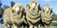 image: Merino Sheep Provide Clue to Curly Hair