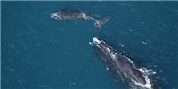 image: Endangered Right Whales Have No New Babies This Breeding Season