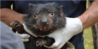 image: Human Cancer Drugs May Be Effective in Tasmanian Devils