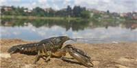 image: Pinpointing the Origin of Marbled Crayfish Clones