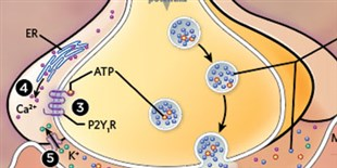 Infographic: Getting Synapses Ready to Fire
