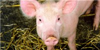 image: Researchers Succeed in Keeping Disembodied Pig Brains Alive