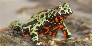 Origin of Frog-Killing Chytrid Fungus Found