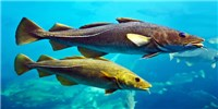 image: Large Female Fish Play a Big Role in Replenishing Populations: Study