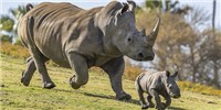 image: Zoo Pregnancy Raises Hopes of Preserving White Rhinos