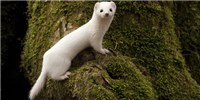 image: Image of the Day: White Weasel