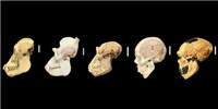 image: Human-Specific Genes Implicated in Brain Size