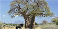 image: Africa's Oldest Baobab Trees Are Dying Suddenly