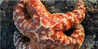 image: Deadly Wasting Syndrome Genetically Altered Sea Stars: Study