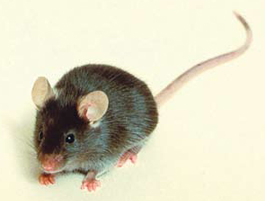 <figcaption>The black 6 mouse, above, was developed around 1920 by Clarence Cook Little (1881-1971), below. Credit: COURTESY OF THE JACKSON LABORATORY ARCHIVES</figcaption>