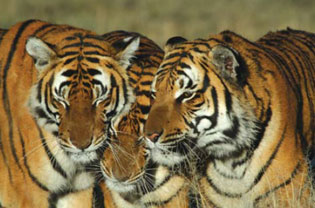 <figcaption> Credit: Courtesy of Save China's Tigers</figcaption>