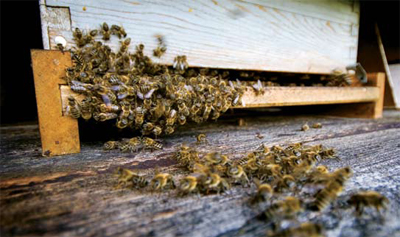 <figcaption>Can these bees be trained to sniff out landmines? Credit: &#169; Mirko BeoVic</figcaption>