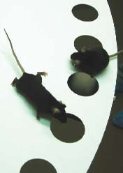 <figcaption>Knockout mice perform just as well as wild type in learning and memory test. Credit: Courtesy of Valerie Galton</figcaption>