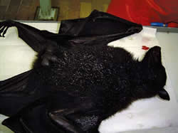 <figcaption>A flying fox Credit: Right: courtesy of Australian Animal Health             Laboratory</figcaption>