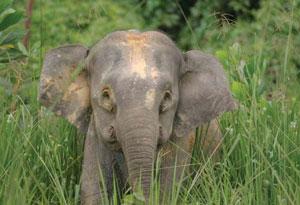 <figcaption>A Bornean Pygmy elephant (Elephas maximus borneensis) in                     Sabah, North Borneo, Malaysia. Credit: &#169; WWF-Canon / A. Christy WILLIAMS</figcaption>